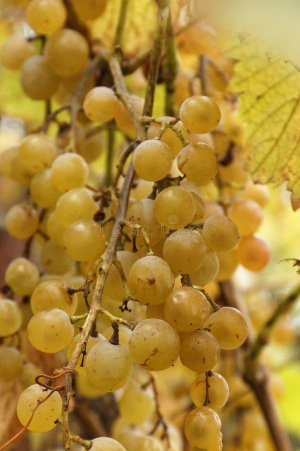 Druvor för sött vin arkivbilder