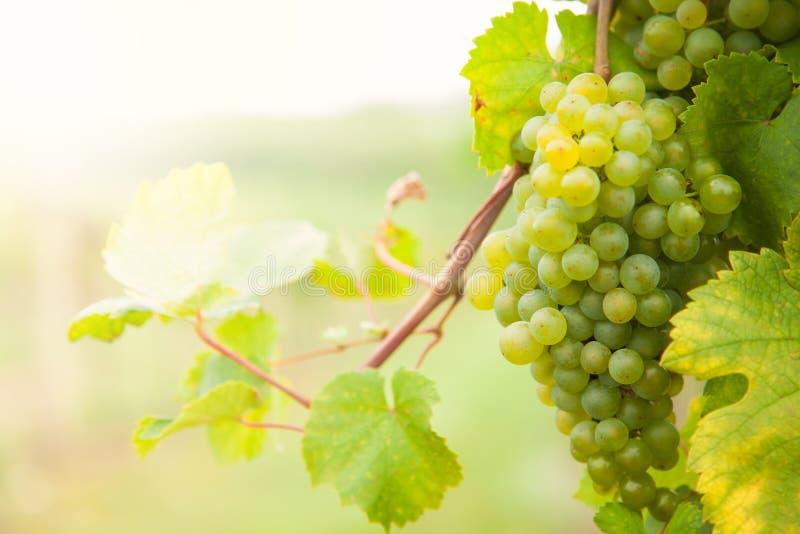 Druvor för vitt vin på vingård arkivfoton