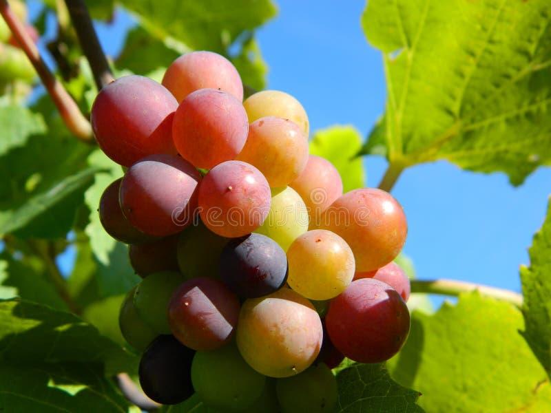 Druvor från en vingård i det från Liechtenstein härliga landet royaltyfria foton