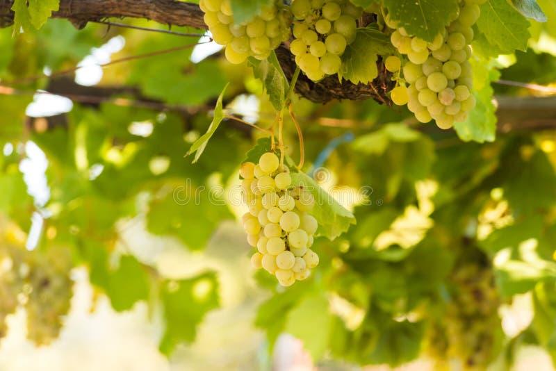 Druvor guling och nya gräsplansidor royaltyfria foton
