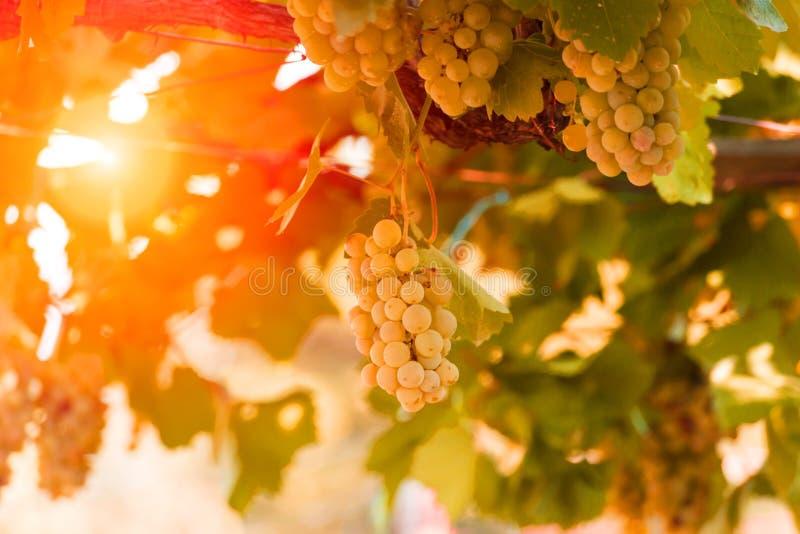 Druvor guling och nya gräsplansidor arkivfoton