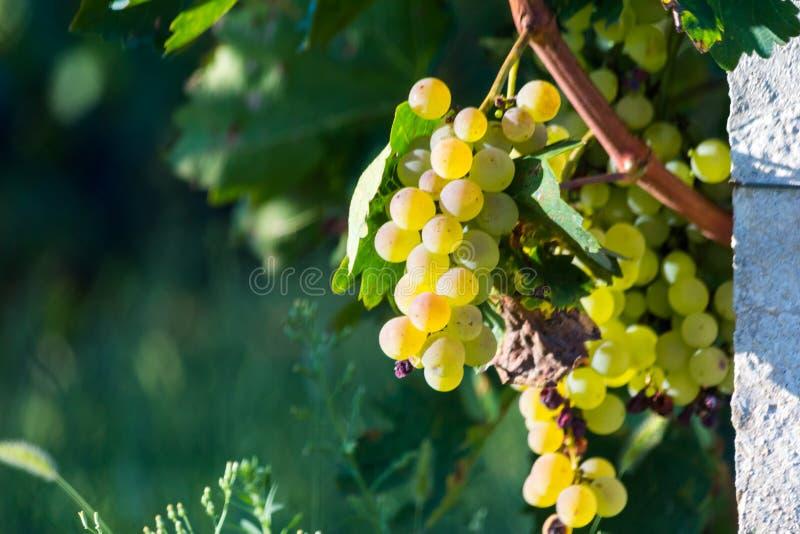 Druvor guling och nya gräsplansidor royaltyfri fotografi