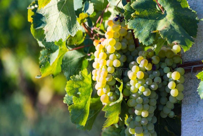 Druvor guling och nya gräsplansidor royaltyfri foto