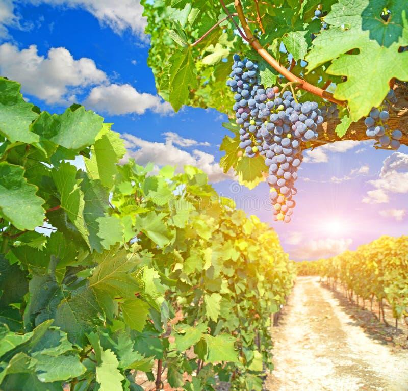 Druvor i höstvingården för vin royaltyfri bild