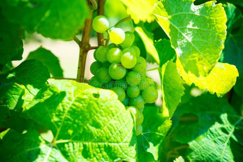 Druvor i vingård arkivbilder