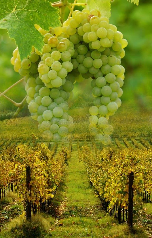 Druvor och vingårdbegrepp arkivbild