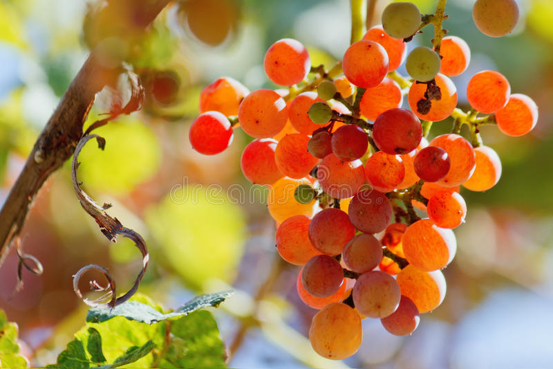 Download Druvor på Vine arkivfoto. Bild av fruktsaft, moget, solljus - 27276738