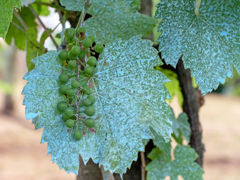 Druvor på vinranka i vingård behandlade med den Bordeaux blandningen, kopparsulfatsulphate och kalciumoxid Organiskt svampdödande royaltyfri foto