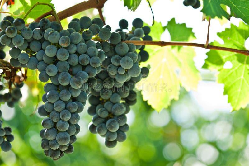 druvor skördar röd höger mogen wine arkivbilder