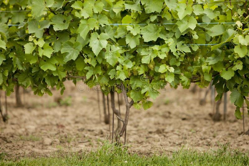 druvor skördar smaklig wine royaltyfri foto