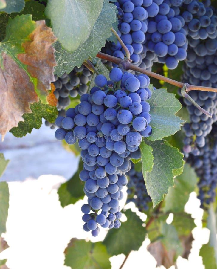 druvor skördar smaklig wine royaltyfri bild