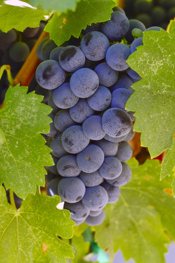 druvor skördar smaklig wine arkivfoto