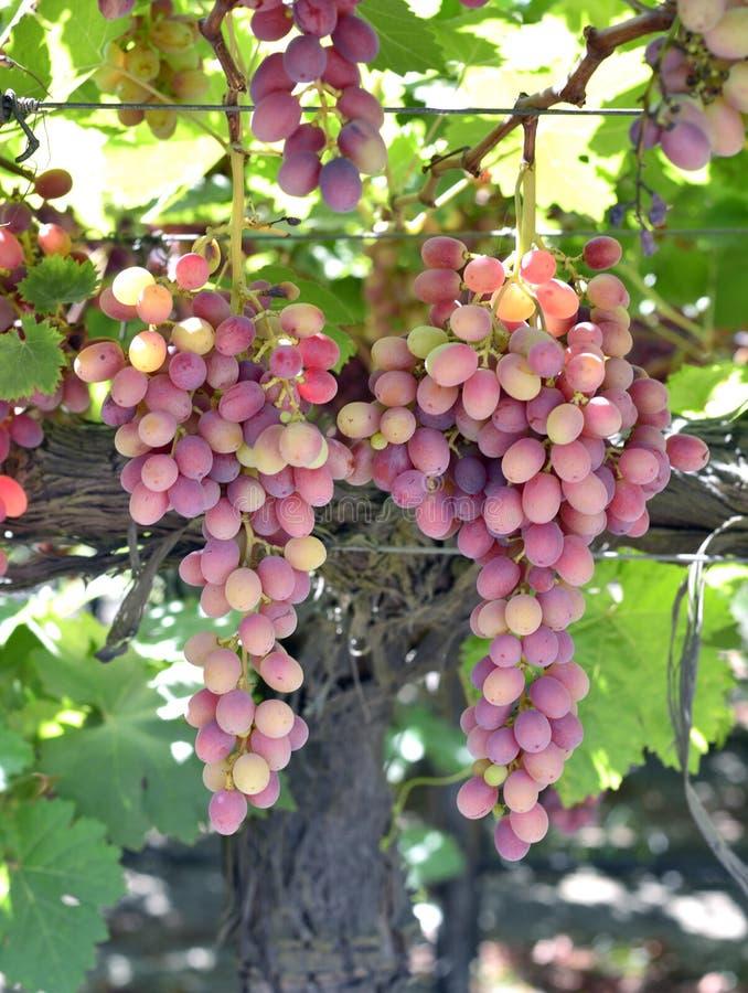 druvor skördar smaklig wine arkivfoton