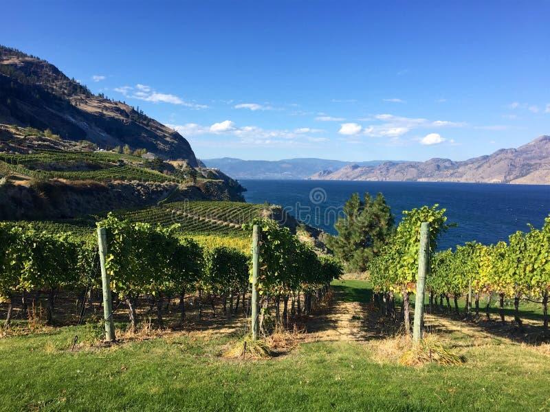 Druvor som växer i den British Columbia vingården i höst, Okanagan sjö royaltyfria bilder