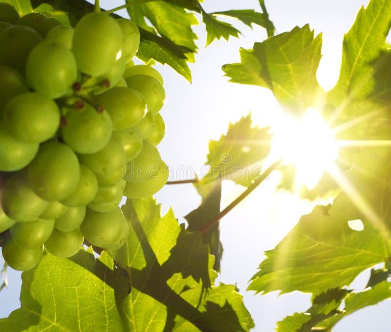 druvor sun under arkivfoton