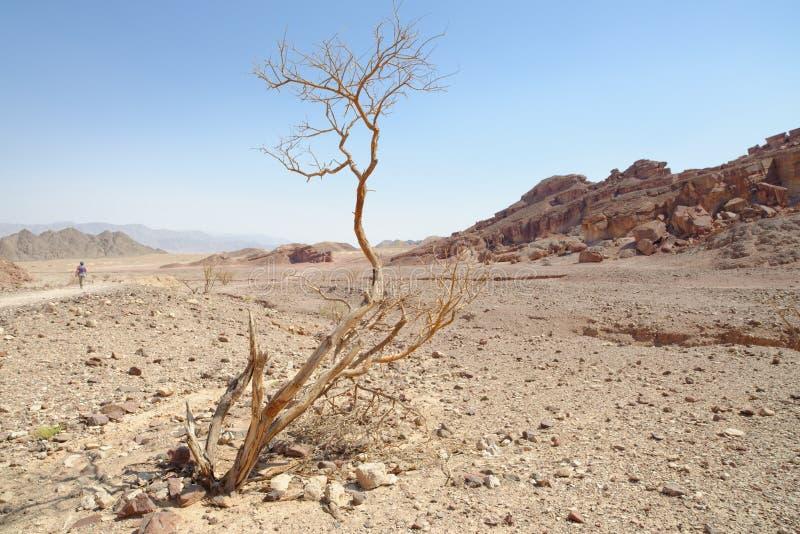 Dry acacia tree in the desert. (Shekhoret canyon near Eilat, Israel) stock photo