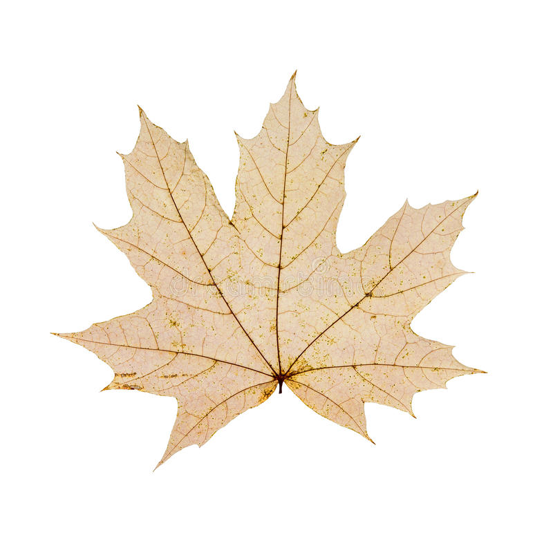 Dry autum maple leaf on white background royalty free stock images