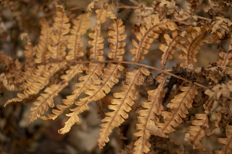 Dry Autumn Fern immagine stock