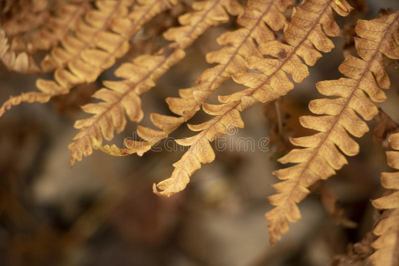 Dry Autumn Fern.  royalty free stock photography