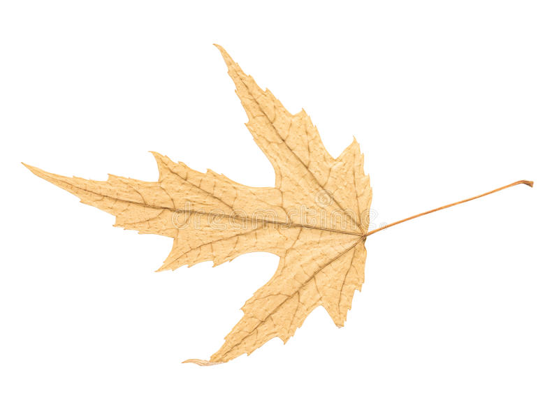 Dry Autumn Leaf Isolated. On White Background royalty free stock photography