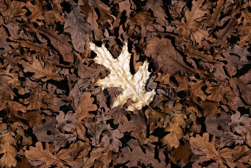 Dry autumn leaves background with one golden bright oak leaf on top. Special choise concept. stock image