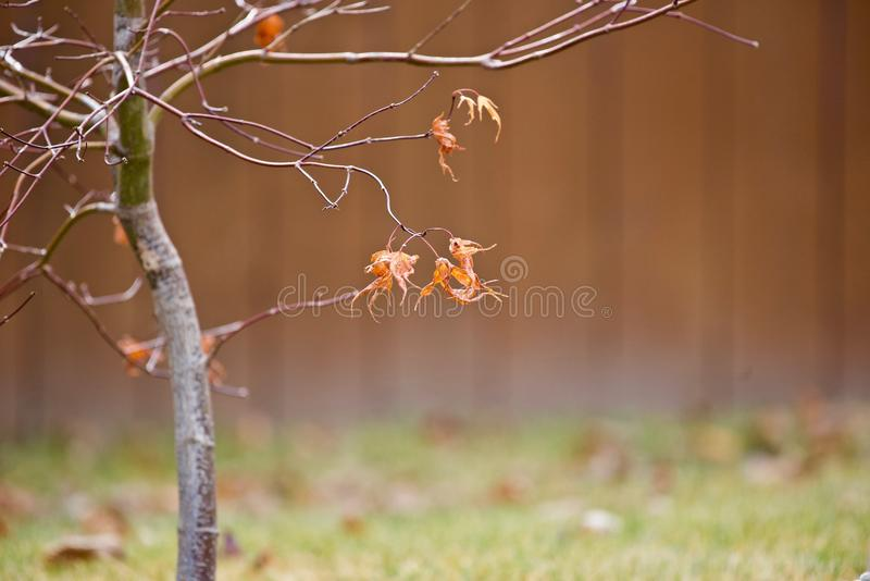 Dry autumn leaves on branches. Dry autumn leaves on the tree branches, Oregon stock image