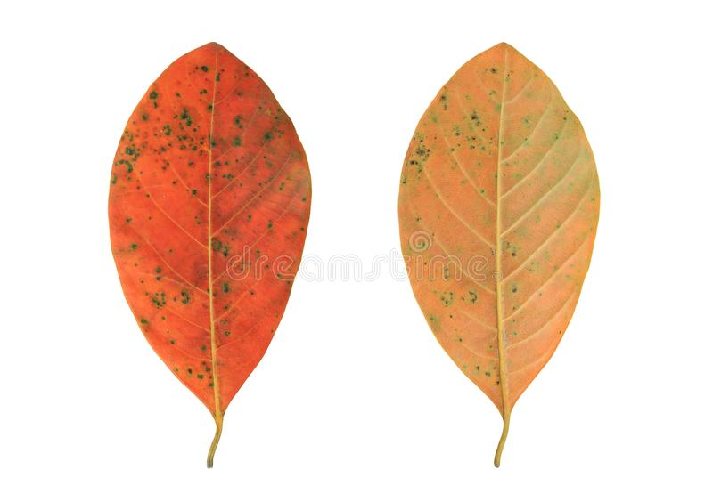 Dry autumn leaves isolated over white background.  stock photo