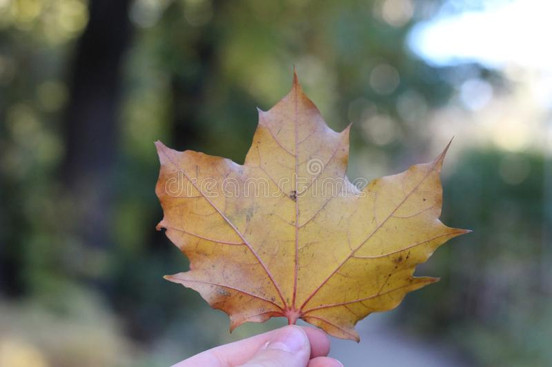 Dry autumn maple leaf in hand. On forest background stock images