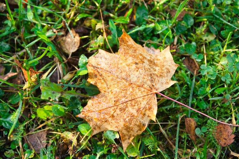 Dry autumn wet maple leaf on the green grass royalty free stock image