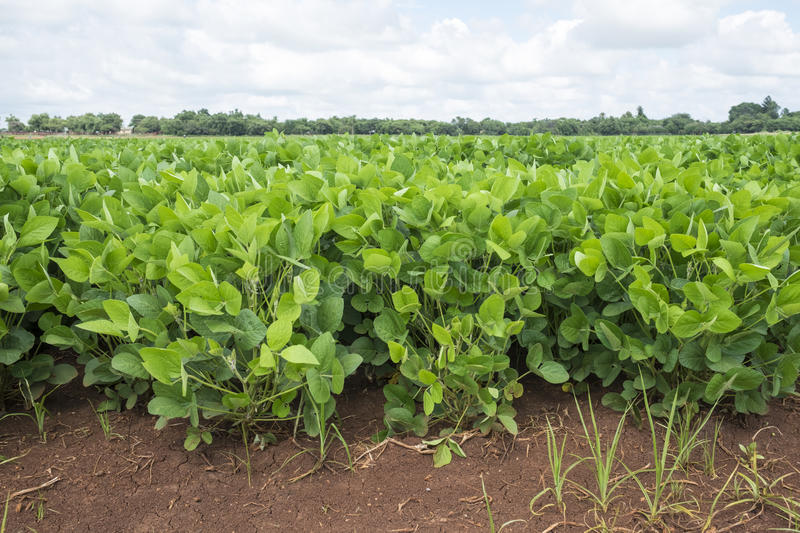 Dry bean field. Mature dry bean plants. Pods have not yet developed for harvesting stock photography