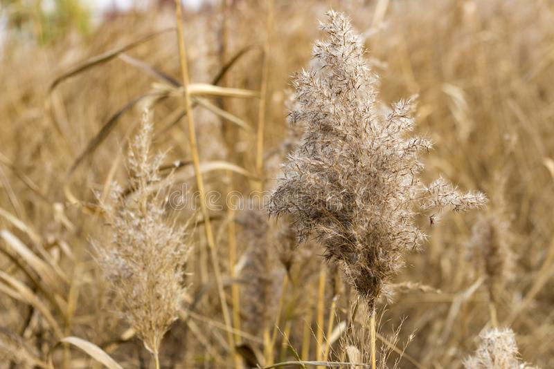 The dry beige grass, ears of corn, close up, autumnal natural background.  stock images