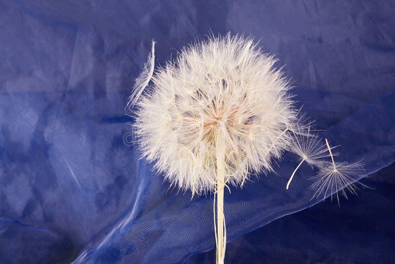 Big dandelion close up. Dry Big dandelion close up. Nature background stock photography