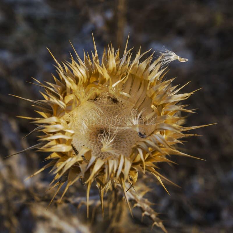 Dry blomstrade blomman, guld- färg har ett taggigt uttag, spritt frö arkivfoton