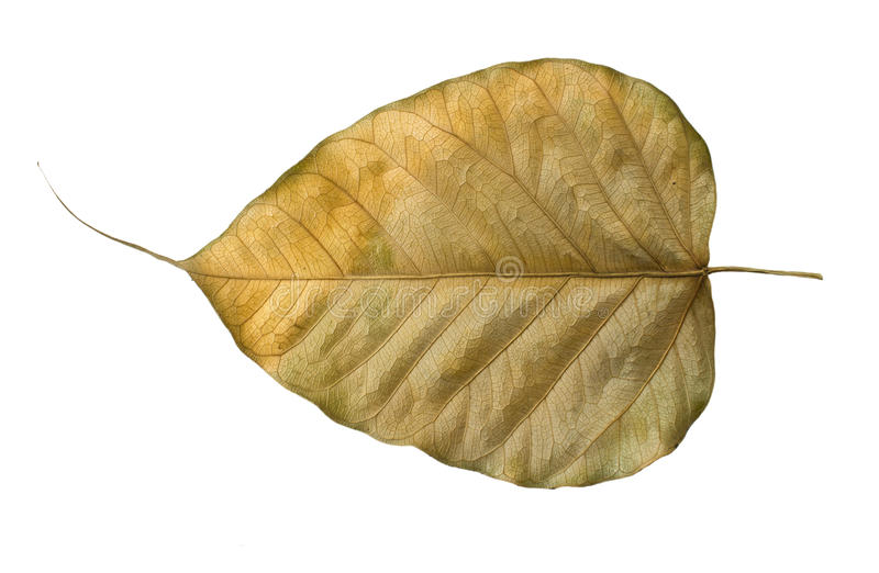 Download Dry Bo leaves isolated stock photo. Image of background - 31532150