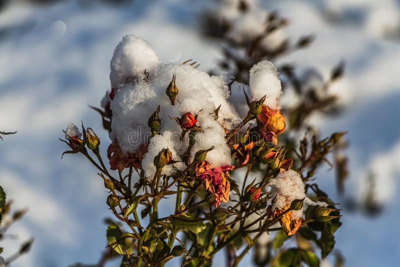 A dry bouquet of red roses and red and green buds with white snow is on a blurred blue sky background royalty free stock image