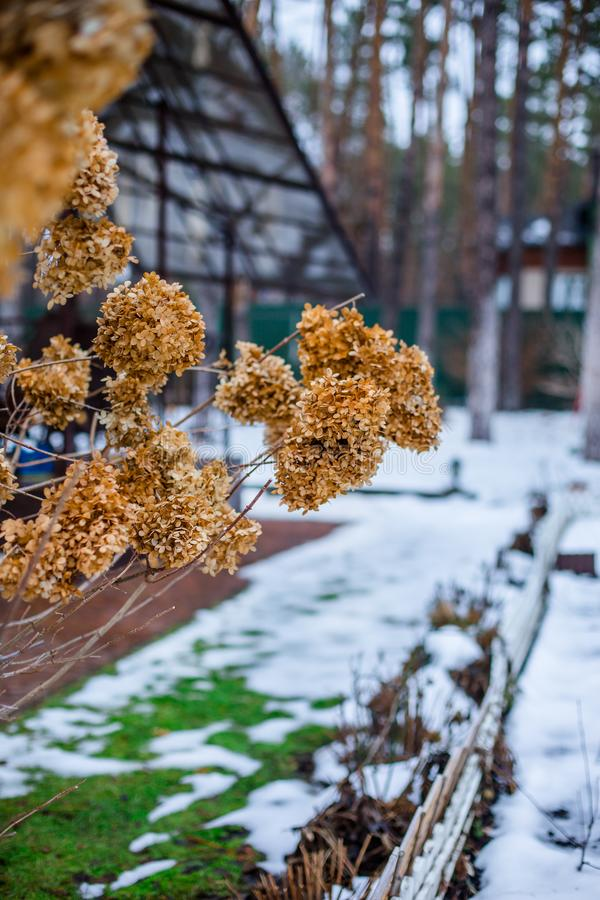 Dry branch hydrangea on a bush in the garden in winter royalty free stock photos
