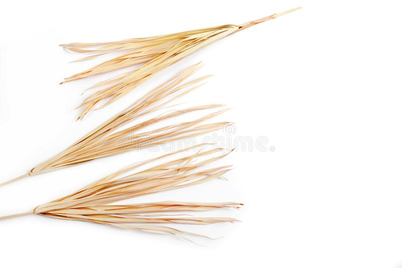 Dry branch isolated white background yellow tropical palm grass weed grassy royalty free stock photo