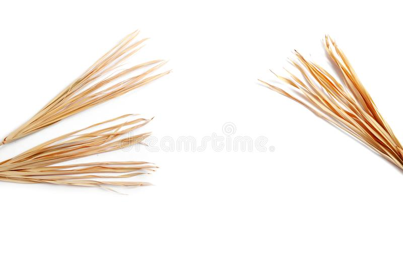 Dry branch isolated white background yellow tropical palm grass weed grassy royalty free stock images