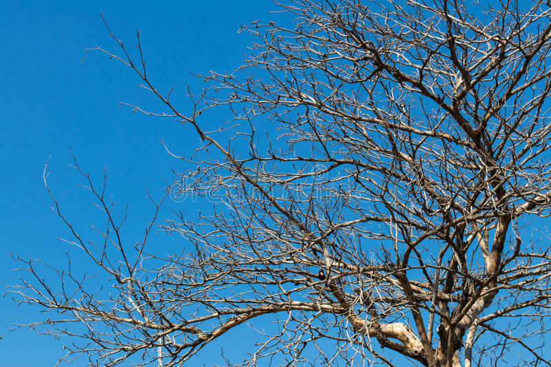 Dry branches against the sky. Close-up of dry dead tree branches background scary, spooky, with blue sky in the background stock images