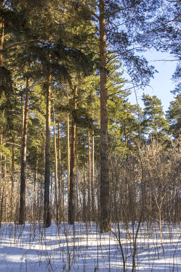 Dry branches of bushes protrude from the snow against the background of green coniferous forest in winter stock image