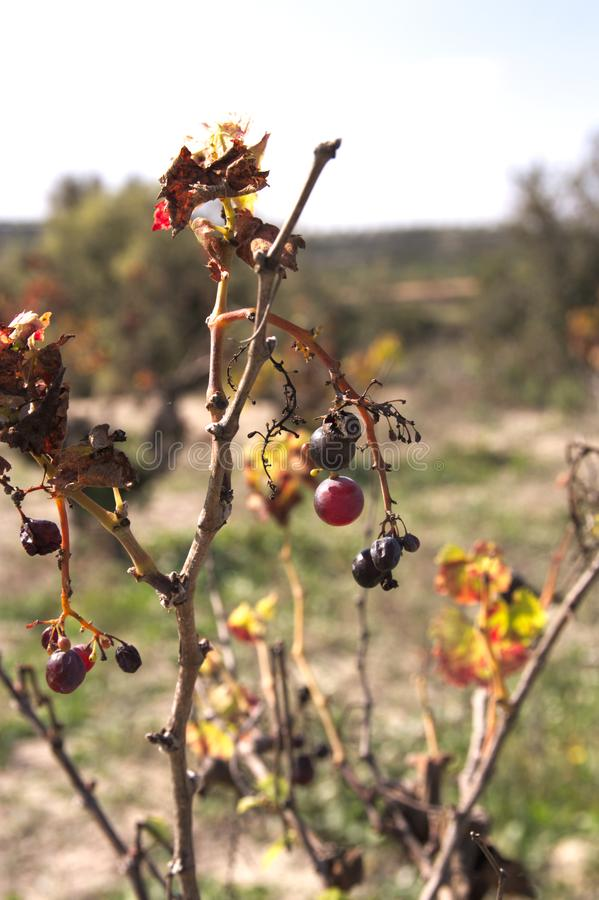 Dry branches with some grape fruits in early autumn stock photography