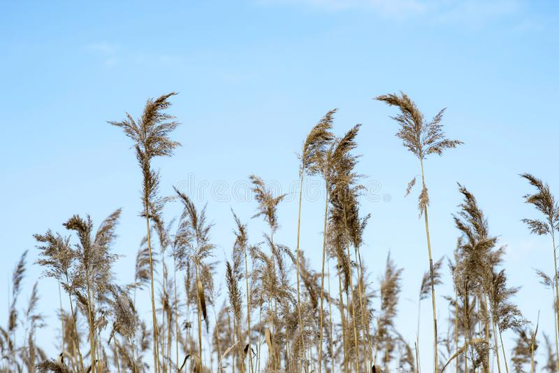 Dry brooms of reeds against the blue clear sky. Natural background stock photography