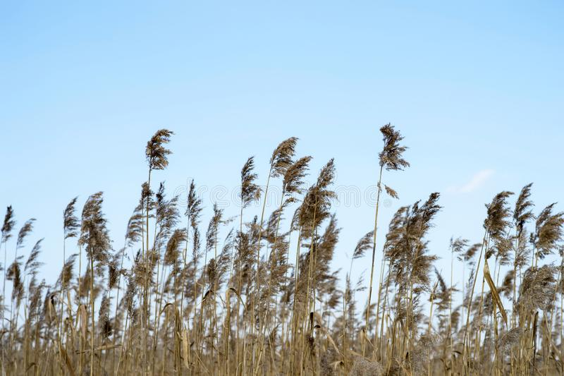 Dry brooms of reeds against the blue clear sky. Natural background stock photos