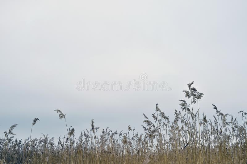 Dry brooms of reeds against a cloudy sky. Natural background stock photography