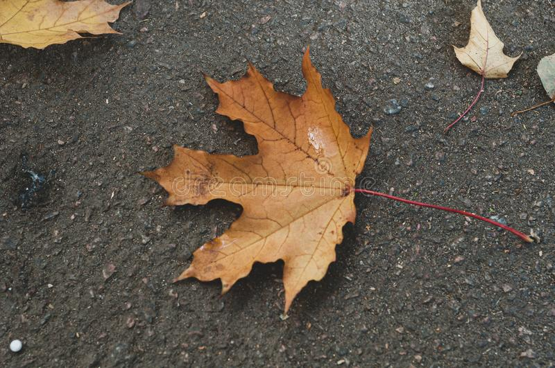 Dry brown autumn fallen maple leaf on black earth royalty free stock images