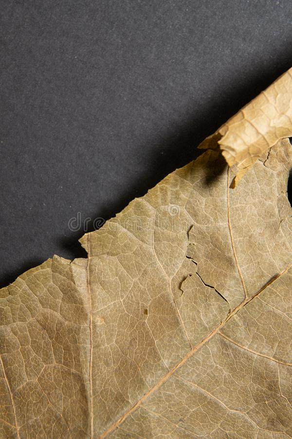 Dry brown leaf on black background. Close-up, macro of an autumn leaf. stock images