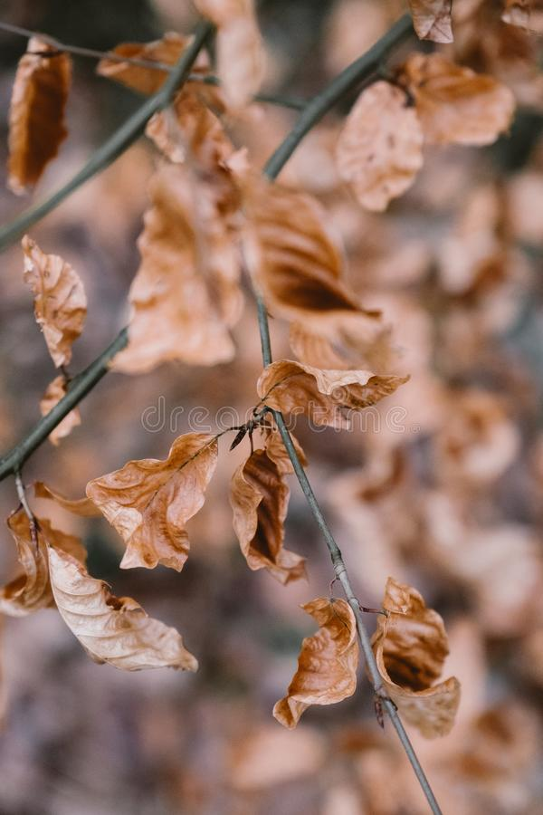 Dry Brown Leaves on a Branch royalty free stock photography