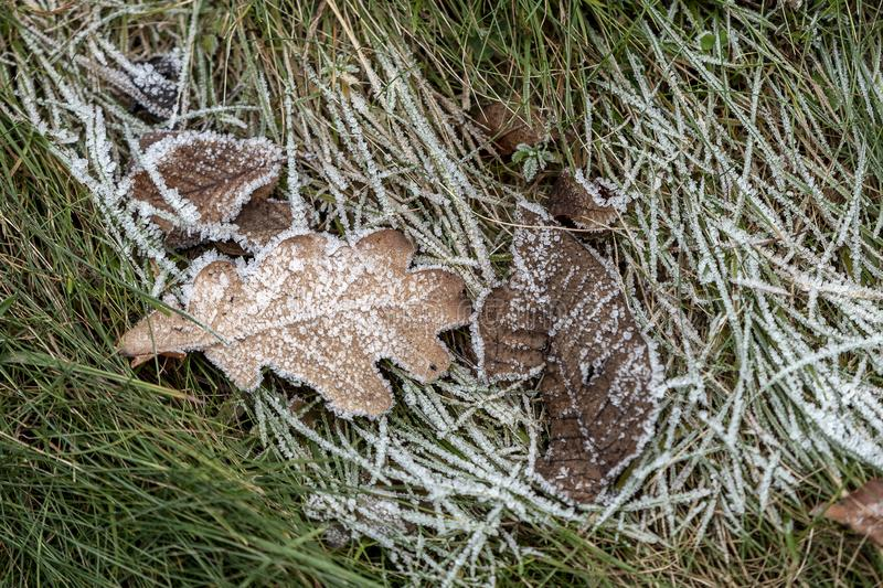 Dry brown leaves lying in frozen grass during the first morning frosts. In autumn stock images