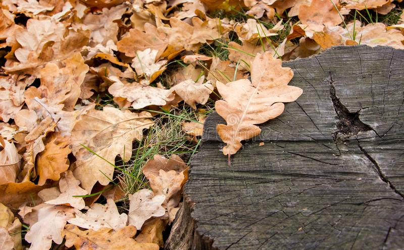 Dry brown leaves of oak on the ground near the stump_ stock photography