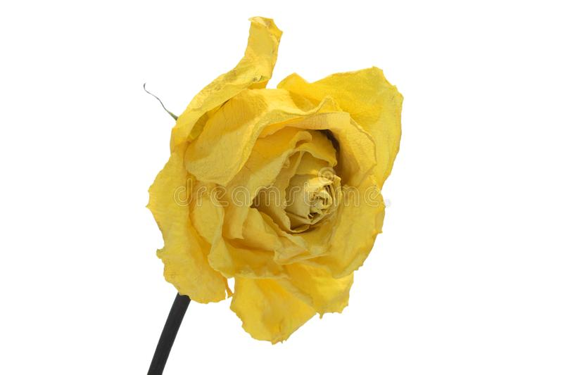 Dry bud of a yellow rose. Isolated. stock photo